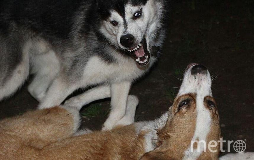 """Грозный Хард явно может претендовать на звание """"собака Баскервилей"""". Фото Екатерина , """"Metro"""""""