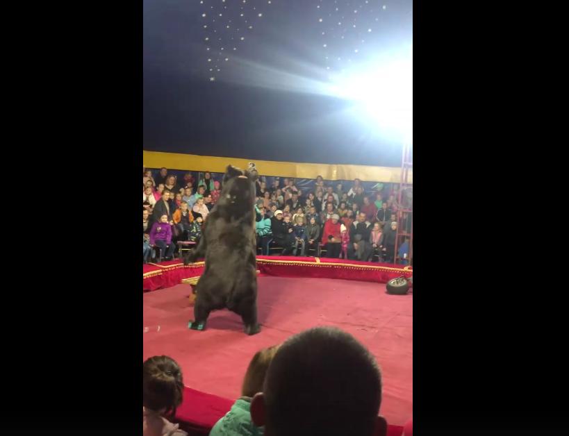 Медведь напал на дрессировщика во время выступления в Карелии. Фото скриншот vk.com/videos138472612