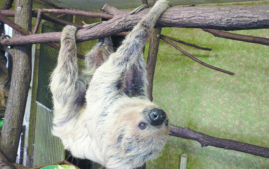Старейший ленивец. Фото Скриншот instagram/guinnessworldrecords