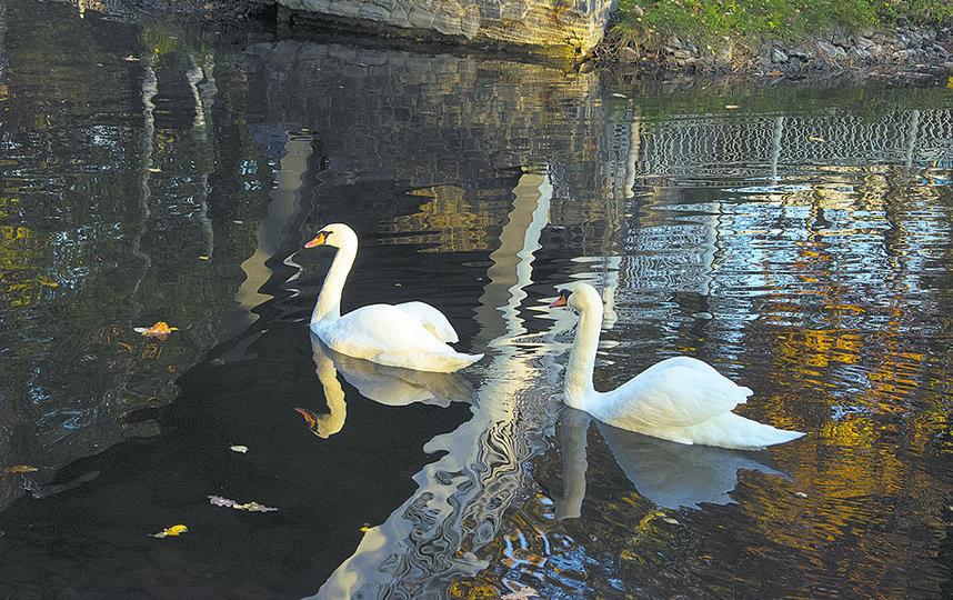Лебеди-шипуны. Фото пресс-служба Мосгорпарка