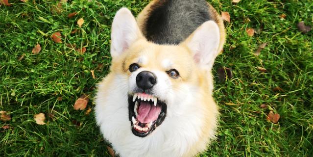 """""""Корги - самые злые и опасные псы :) Грошик доказывает это! Настоящая собака Баскервилей! Не поспоришь! Держит в страхе весь район""""."""