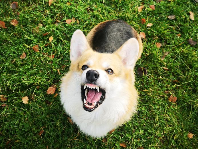 """""""Корги - самые злые и опасные псы :) Грошик доказывает это! Настоящая собака Баскервилей! Не поспоришь! Держит в страхе весь район"""". Фото Анна, """"Metro"""""""
