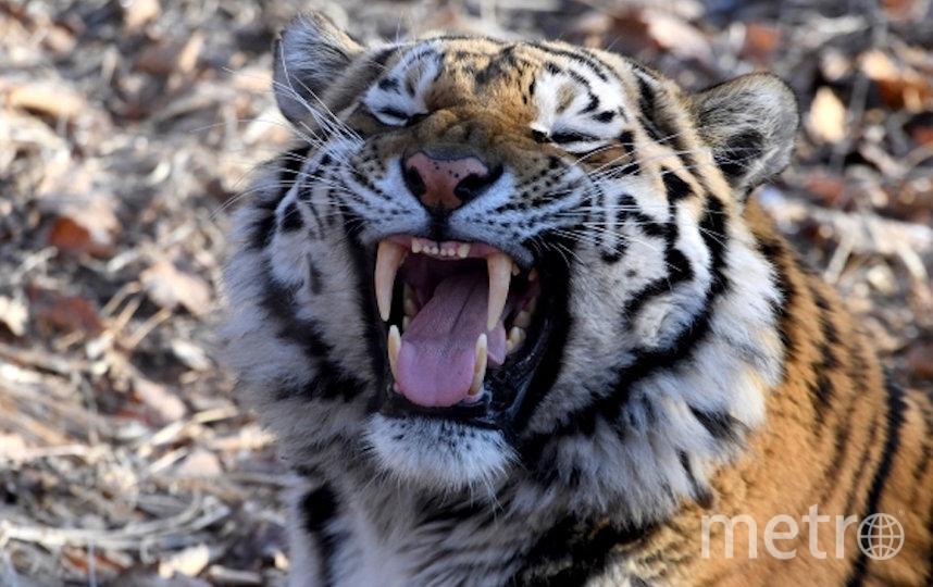 Тигр Амур. Фото РИА Новости