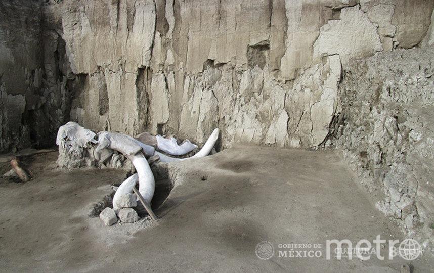 Череп одного из мамонтов, найденного в ловушке. Фото EDITH CAMACHO, INAH
