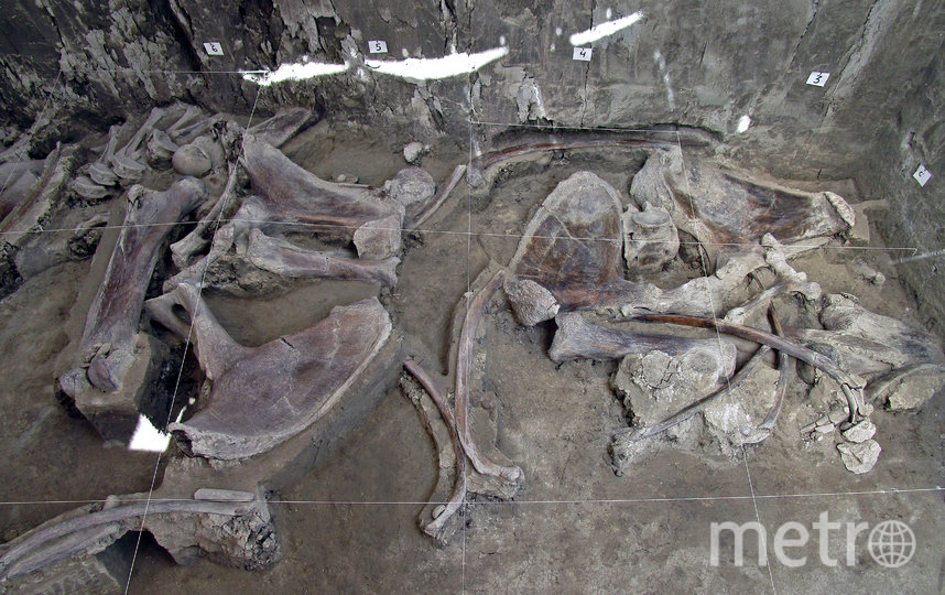 Учёные обнаружили кости, принадлежавшие 14 мамонтам. Фото AFP