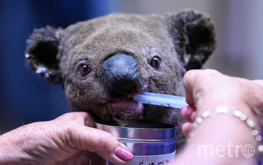 Жертвами лесных пожаров также стали около 350 коал. Фото AFP