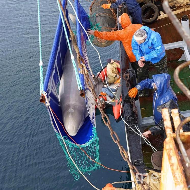 Белух транспортируют к местам обитания на специальных кораблях. Фото instagram/siberian_times