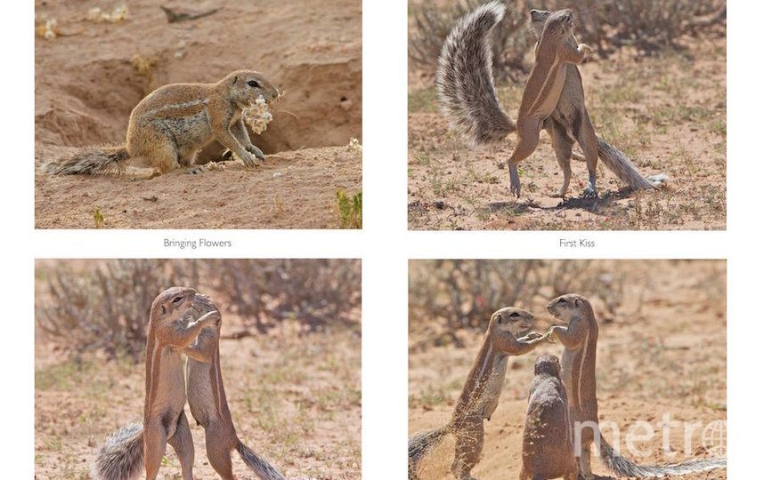 """Серия """"Сначала приходит любовь"""" состоит из 4-х фотографий. Фото Elaine Kruer /  Comedy Wildlife Photography Awards"""