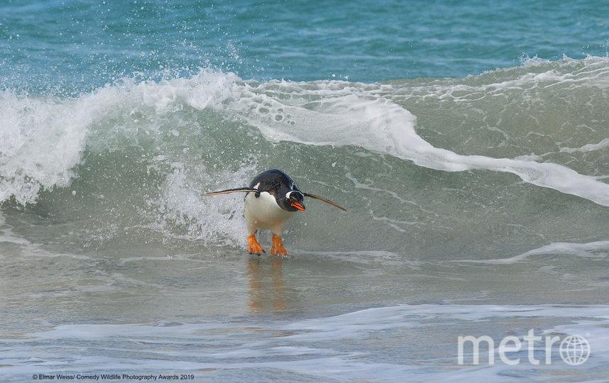 """Также организаторы отметили 12 фотографий, получивших высокую оценку. """"Сёрфинг в южноатлантическом стиле"""". Фото Elmar Weiss / Comedy Wildlife Photography Awards"""