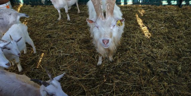 """Обитатели ранчо """"Золотая подкова"""". Селфи-козел Яша."""