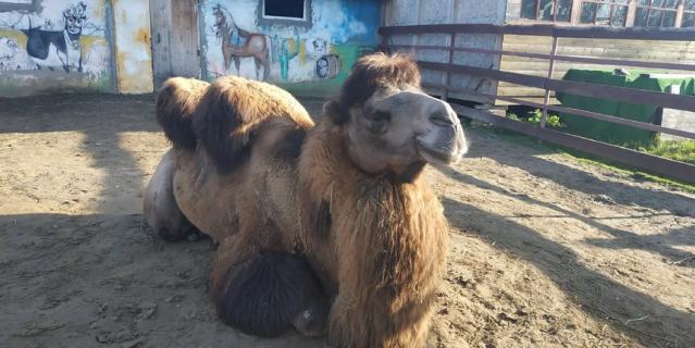 """Верблюд Гаврюша - общительный, доброжелательный, """"профессионально"""" общается с гостями - более 15 лет катал детей на Дворцовой площади."""