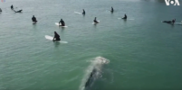 Серый кит с сёрферами прославился в YouТube