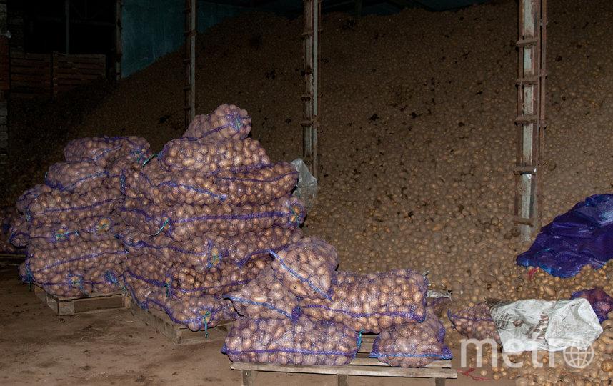 """В 2019-м году рекордный урожай картофеля. Фото Анна Лутченкова, """"Metro"""""""