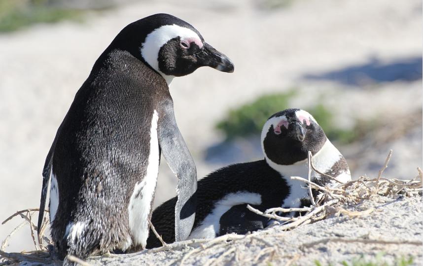 Гомосексуальные союзы встречаются у множества различных видов животных, включая пингвинов. Фото pixabay.com