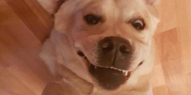 """""""Это Янжи, ей 7 месяцев. Иногда мы в шутку с мужем смеёмся говоря что у нас """"злой белый лабрадор"""". Это единственная порода собак, у которых отсутствует ген агрессии""""."""