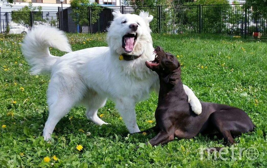 """""""Белая собака на фото - это наш член семьи АЙС, порода белая швейцарская овчарка. Очень дружелюбный и позитивный парень со своей подругой Асей (Курцхаар)"""". Фото Дмитрий, """"Metro"""""""