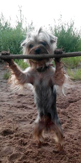 """""""Наша собака Энни самая спортивная собачка Баскервилей, запросто после подтягивания перекусит эту палку!"""" Фото Александр, """"Metro"""""""