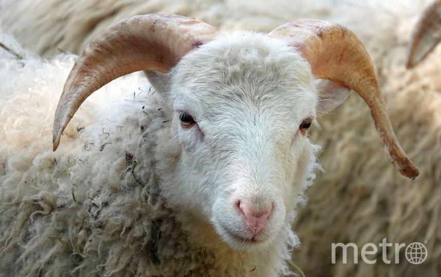 Овца. Фото Pixabay