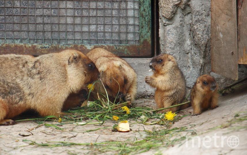 Сурки зоопарка. Фото Отдел по связям с общественностью Ленинградского зоопарка