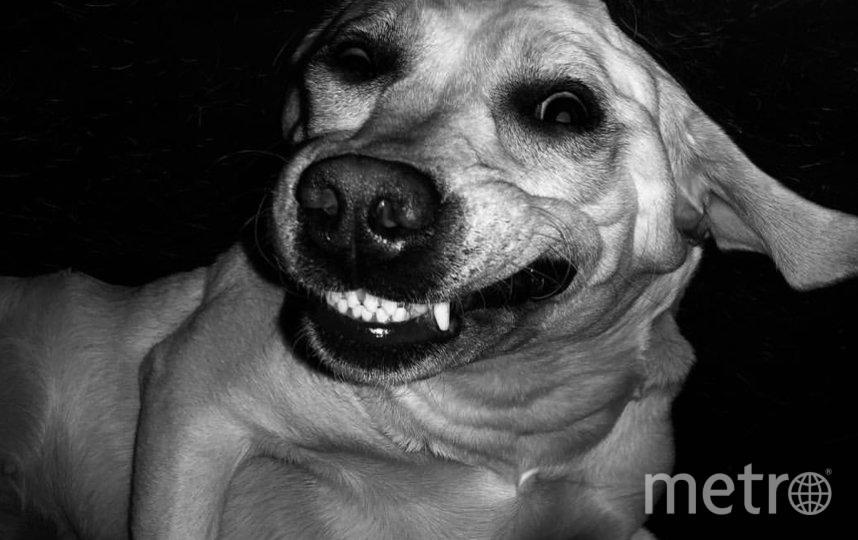 """Меня зовут Юлия. Собака лабрадор Лора. Это добрейшее существо! Про неё можно сказать «залижет до смерти!» Любит всех! И мы ее тоже) Если перевернуть это фото, то можно посмотреть, как она обычно спит - вверх животом. Фото """"Metro"""""""