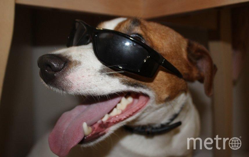 """Моя собака баскервилей. Это Джокер, породы Джек-рассел. Наш маленький злодей. Фото """"Metro"""""""