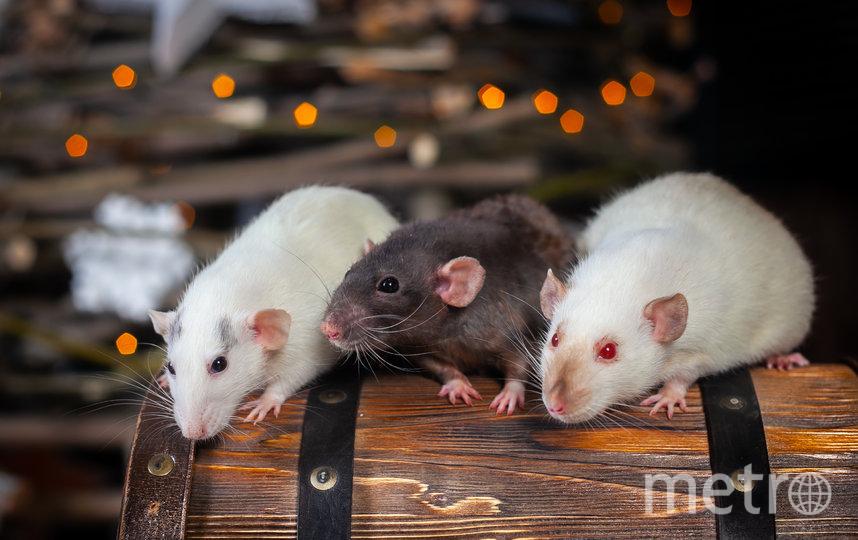 Крысы. Фото Анна Чехарина