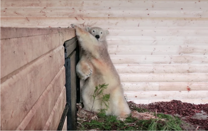 непоседа Хаарчаана 2 года назад в декабре, 2017-го. Фото Ленинградский зоопарк, vk.com