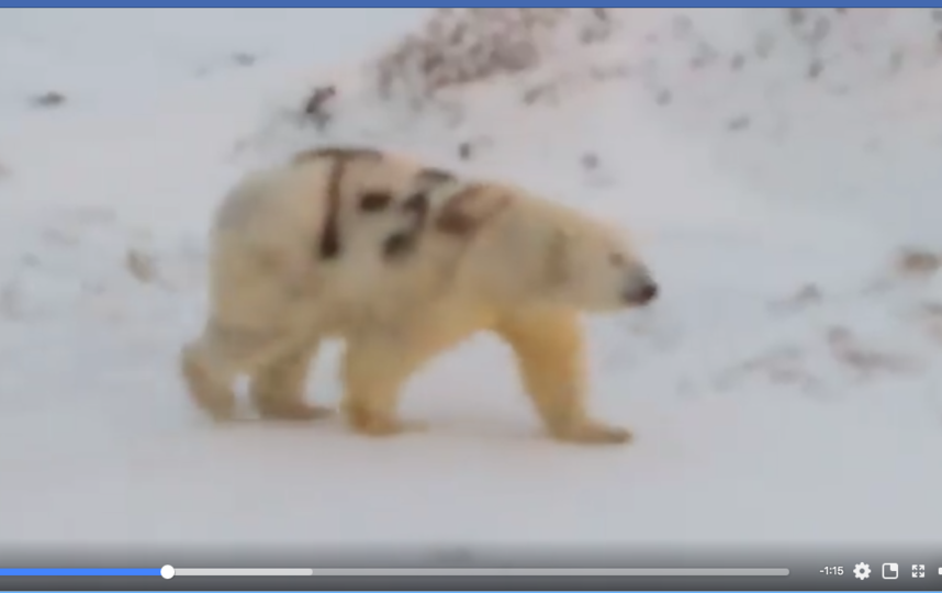 """На медведя нанесли """"патриотичную"""" надпись. Фото скриншот www.facebook.com/skavry/videos/2769434279773693/"""