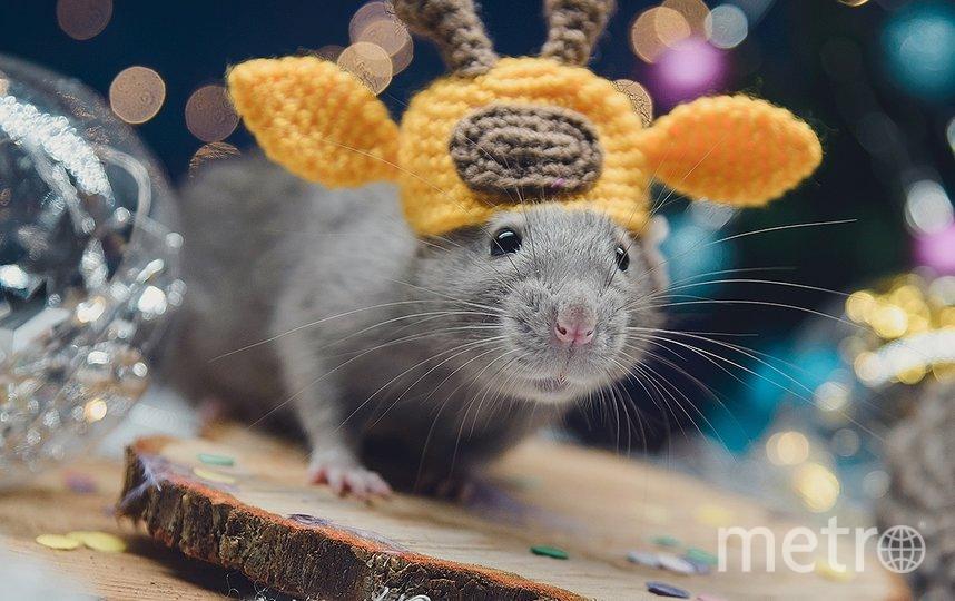 """Крысоводы считают, что крыса в шапке способна растопить любое серце. Фото Светлана Пажильцева / vk.com/lankaphoto, """"Metro"""""""