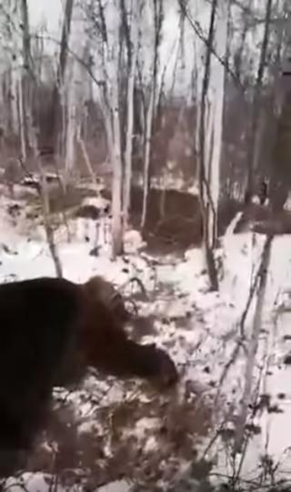 Медведь, погубивший Радиона. Фото Скриншот видео Youtube/Кам24/watch?v=gFqyRSDg9IU&feature=youtu.be