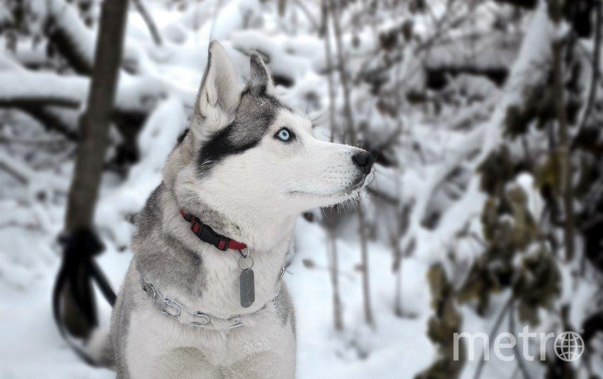 Сибирская хаски. Фото Pixabay