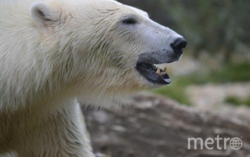 """На Чукотке патрулируют село, у которого бродят около 60 белых медведей. Фото Pixabay , """"Metro"""""""