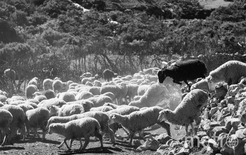Чёрная овца. Фото Andy Arellano | Peru