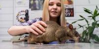 Редкий вид: гигантские крысы гамби живут в Ленобласти