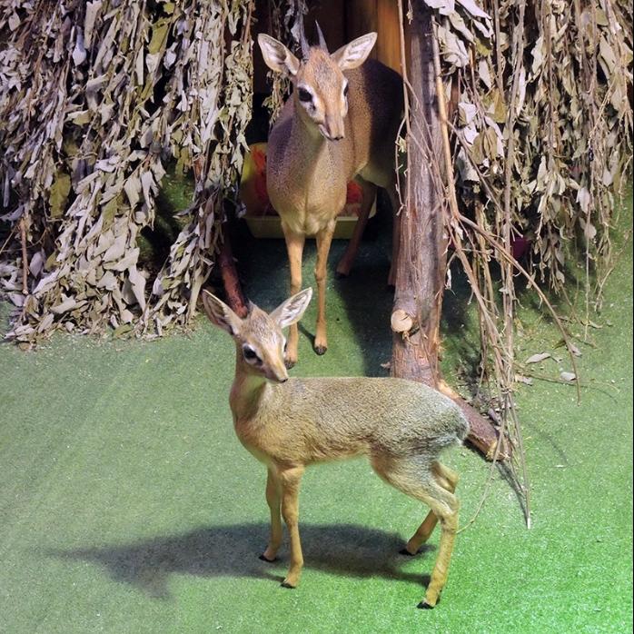 Детёныш миниатюрной африканской антилопы родился в Московском зоопарке. Фото Наталья Назарова, скриншот facebook.com/MoscowZoo