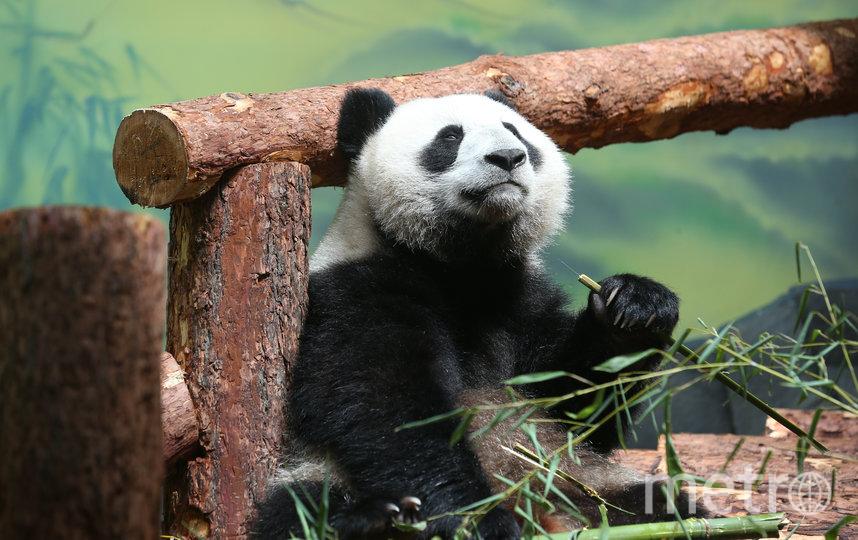 Весной в Московском зоопарке поселились новые обитатели – панды Жуи и Диндин, прибывшие в столицу из Китая. Фото Василий Кузьмичёнок