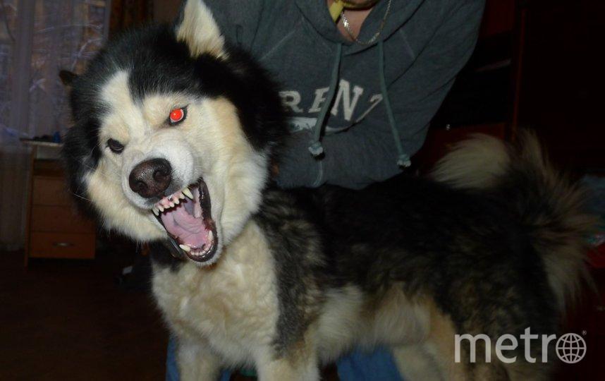 """Это хаски. Зовут Дивар Гордость Королей. Самый добрый пёс в мире. Фото """"Metro"""""""