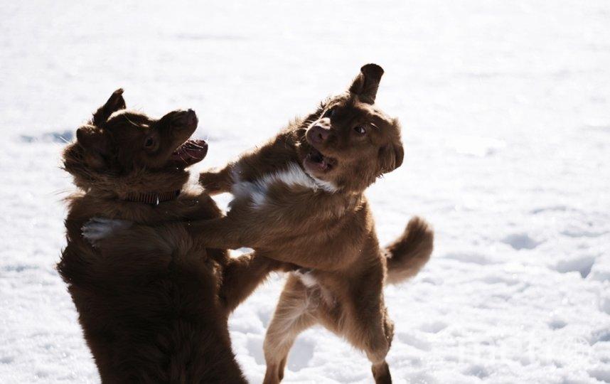 """Джаспер, Толлер Самый активный и неугомонный пёс из Питера. Фото Елена, """"Metro"""""""