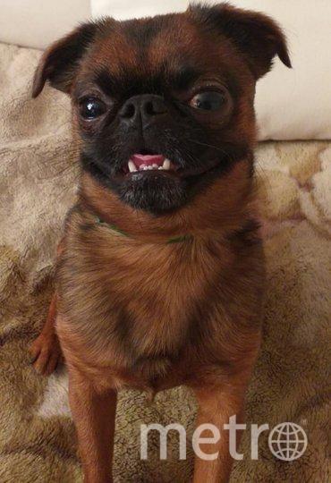 """Направляем фото нашего любимого пса породы ПТИ БРАБАНСОН. Его зовут УМКА, он действительно очень умный пёс. С его появлением в нашей жизни три года назад, стало веселее, потому что он очень шустрый, веселый и озорной! Мы его очень любим! Фото Инга., """"Metro"""""""