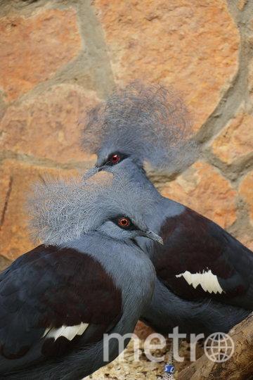 Венценосные голуби. Фото Ленинградский зоопарк / vk.com/spbzoopark