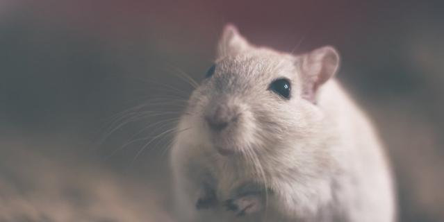 Год крысы начнётся 25 января.