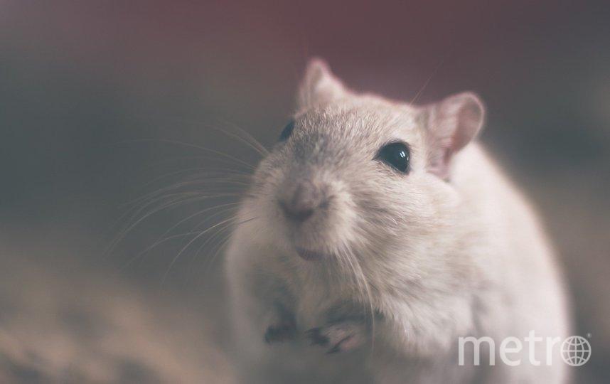 Год крысы начнётся 25 января. Фото pixabay.com