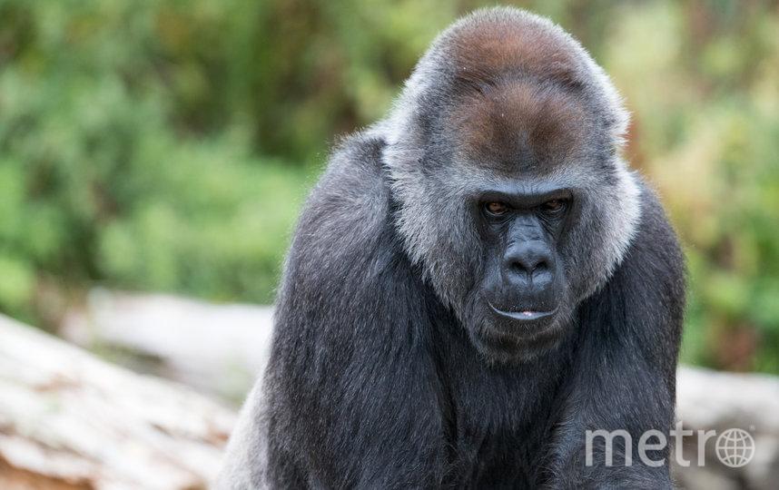 В США врачи удалили катаракту горилле. Архивное фото. Фото Getty