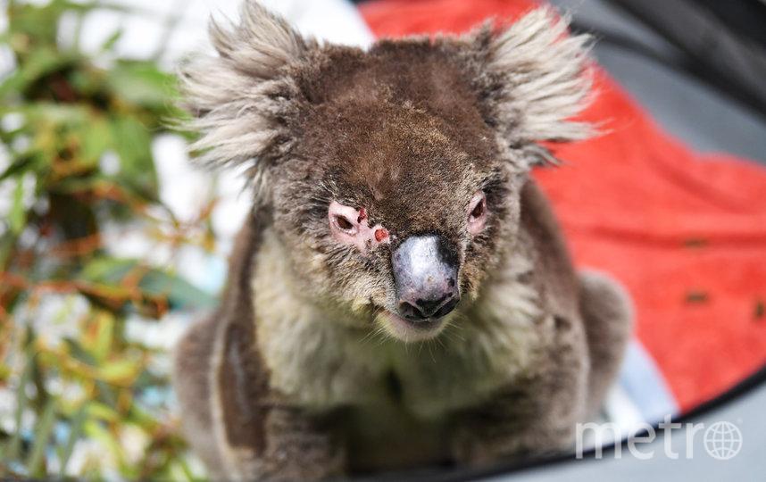 В результате лесных пожаров на острове Кенгуру погибло около 25 тысяч коал . Фото Getty