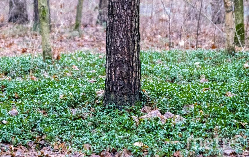 Из-за аномально тёплой погоды в городских парках распускаются листья, появились первоцветы и грибы, в лесах Ленобласти проснулись енотовидные собаки, а в водоёмах – лягушки.