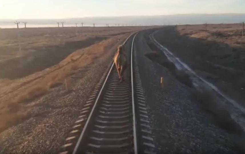 Верблюд не реагировал на сигналы. Фото скриншот: youtube.com/watch?v=pCYbGB7x2g0&feature=youtu.be