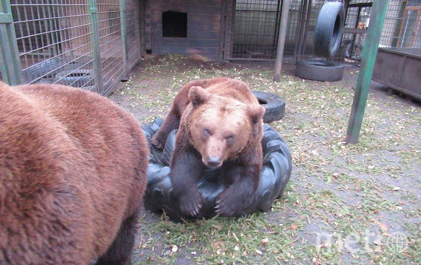 """Медведи «Велеса» Носик и Хвостик уже оценили щепу от сданных петербуржцами хвойных. Фото  vk.com/veles_spb, """"Metro"""""""