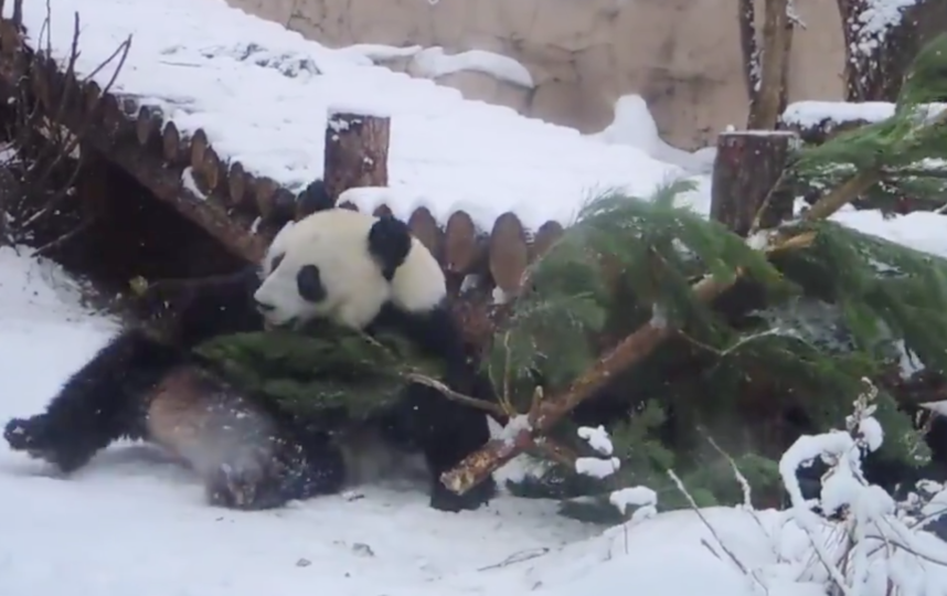 Выпавший снег вызвал бурный восторг у панды Диндин. Фото скриншот twitter.com/moscowzoo