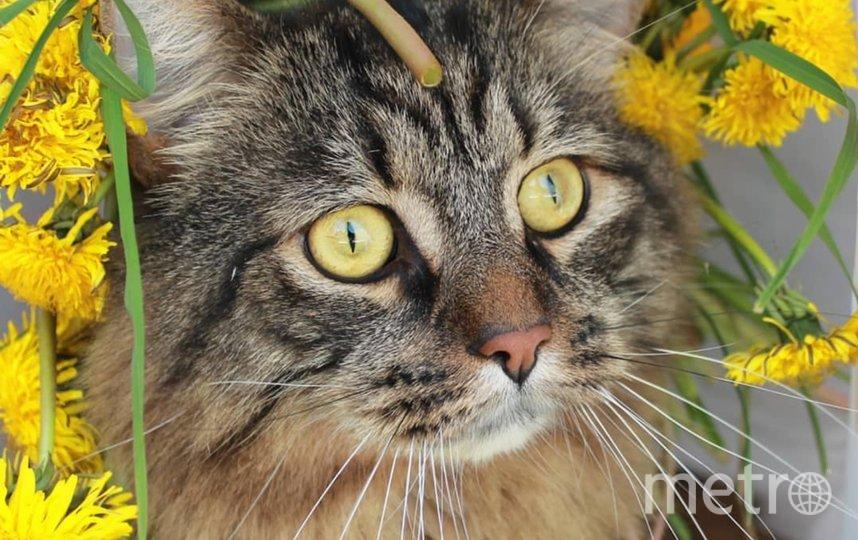 """Наш кот Пуша очень любит шляпы, шапки, платки и даже венки из цветов. У него есть в инстаграме своя страница, где он демонстрирует свое умение носить головные уборы. Алиса Васильевская. Фото """"Metro"""""""