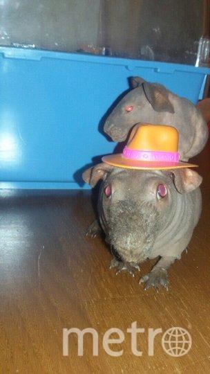 """Лысая морская свинка породы скинни по кличке Лютик в ковбойской шляпе и сыном, сидящим на спине. Фото Марианна, """"Metro"""""""